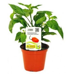 Pianta Habanero Orange