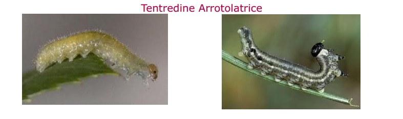 tentredine