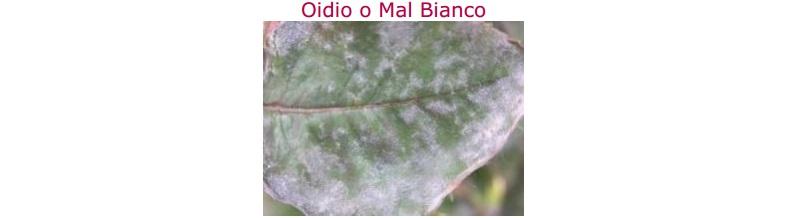 oidio