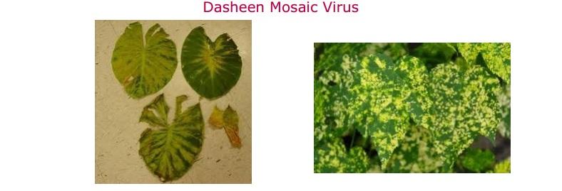 Dasheen