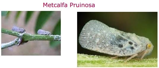 Mectalfa Pruinosa