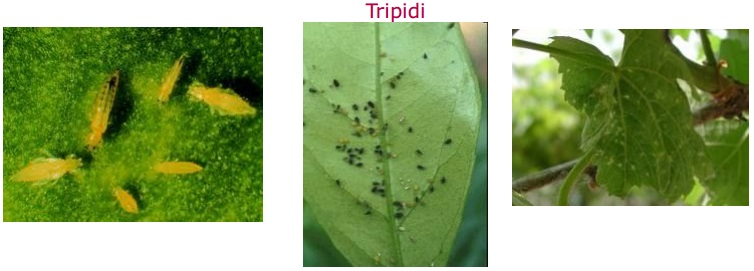 tripidi