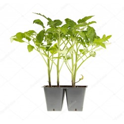 Pianta pomodoro datterino nero crispino Plum
