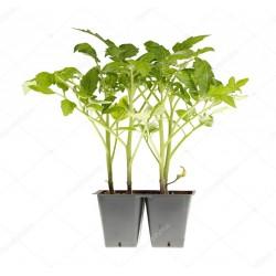 Pianta pomodoro nero zebrino F1