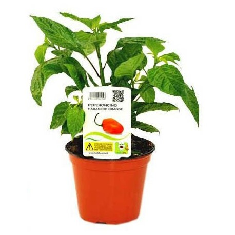 Pianta di peperoncino Habanero Orange
