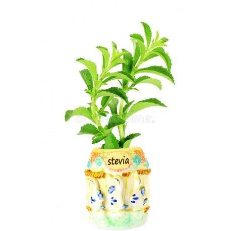 Pianta stevia