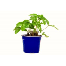 "Pianta fragola bianca ""ananassa"""