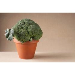 Pianta broccolo romano S. Giuseppe Colosseo F1