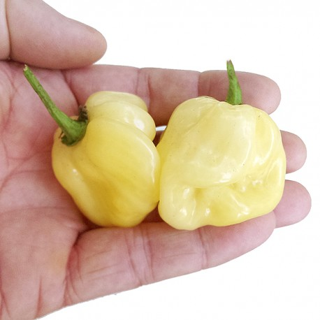 Peperoncini Habanero White secchi 15 gr