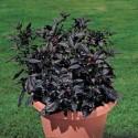 Pianta Black Pearl