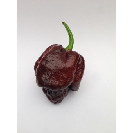 Semi Trinidad Moruga Scorpion Chocolate