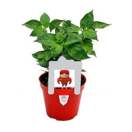 Pianta Tomato Pepper - Peperoncino Pomodoro