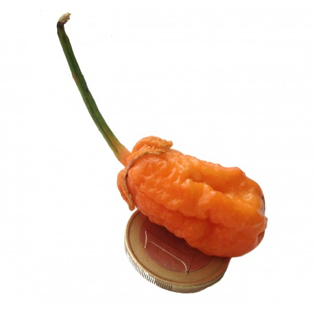 Semi Trinidad Moruga Scorpion Peach