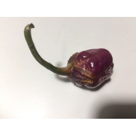Semi Bubblegum purple