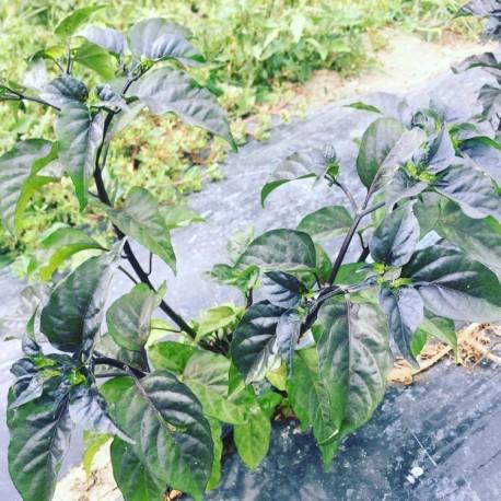 Semi bella pianta