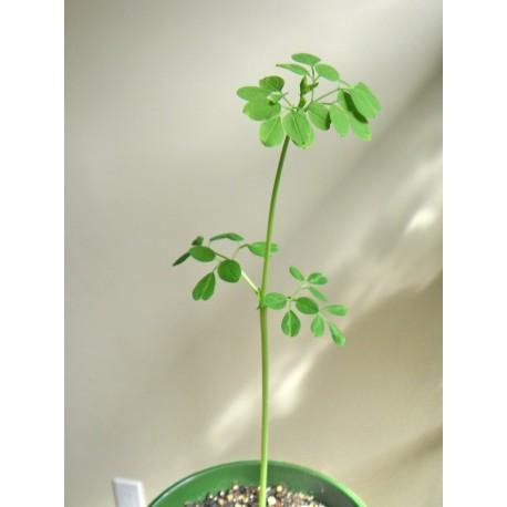 Semi Moringa oleifera