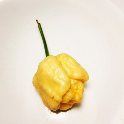 Semi trinidad scorpion yellow