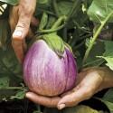 semi melanzana romanesca
