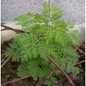 Semi Artemisia