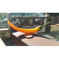 Artiglio di drago orange fluo secco