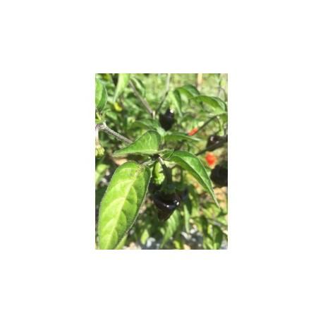 Jamaica Hot Black secco
