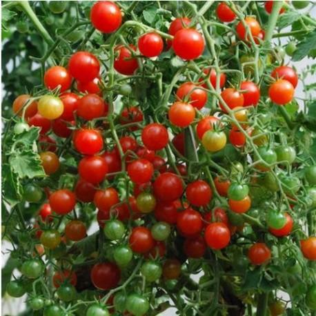Semi pomodoro Ribes rosso