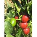 Semi peperoncino ciliegia