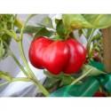 Tomato Pepper | Peperoncino Pomodoro fresco
