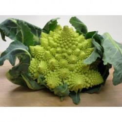 Semi di broccolo romano gitano