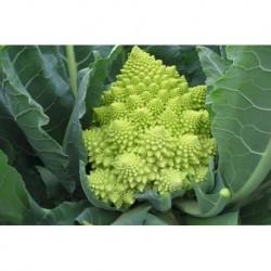 Semi di broccolo romano natalino Veronica