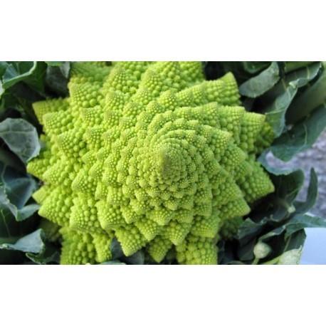 Semi di broccolo romano S. Giuseppe pomezio