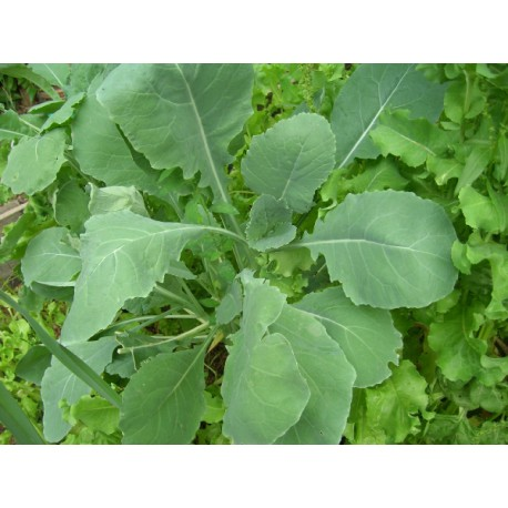 Semi di broccolo all'olio rapino