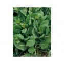 Semi di broccoletto getti e foglie