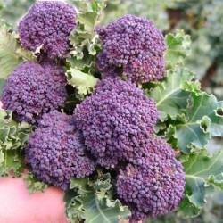 Semi di broccoletto a getto viola