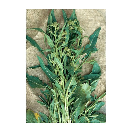 Semi di broccolo cima di rapa foglia d'ulivo