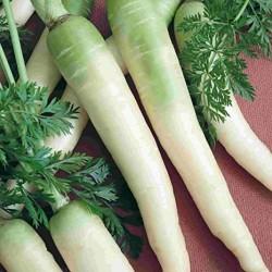 Semi di carota bianca