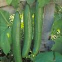 Semi cetriolo lungo Pepinex