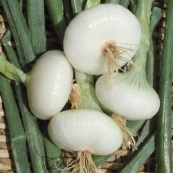 Semi di cipolla bianca piatta di maggio