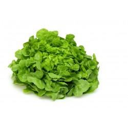 Semi di lattuga foglia di quercia verde
