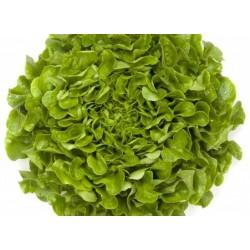 Semi Lattuga Foglia di Quercia Verde