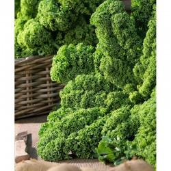 Semi di cavolo laciniato verde Wind Bor