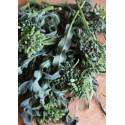 Semi di cavolo minestra napoletana foglia stretta