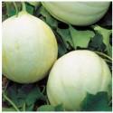 Semi Melone Summer Dream