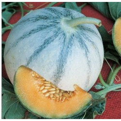 Semi Melone Liscio Charantais