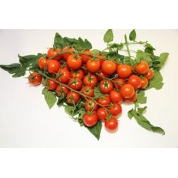 Semi pomodoro ciliegino