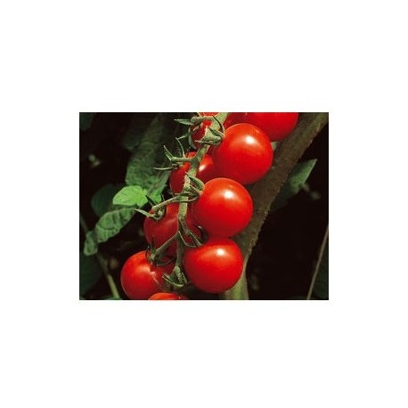 """Semi di pomodoro ciliegino alto """"Paki"""""""