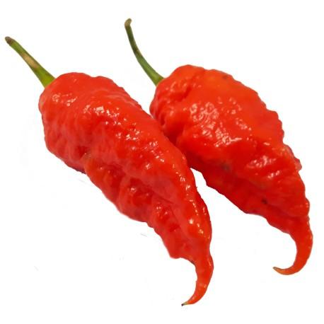 Semi Jais ghost scorpion Red
