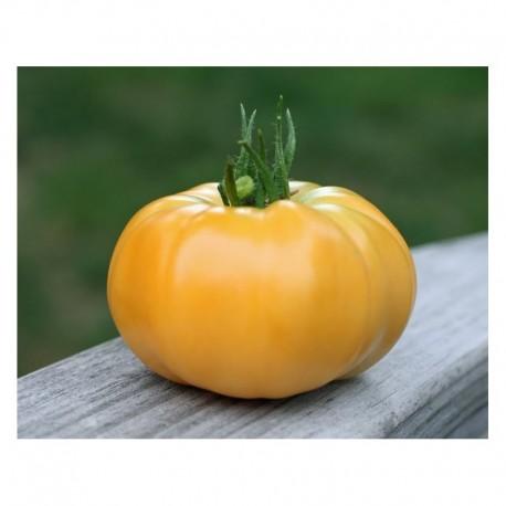"""Semi di pomodoro giallo """"Gazzi Ribbed"""""""