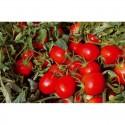 """Semi di pomodoro ciliegino nano """"Coriandolo"""""""