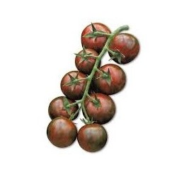 Semi di pomodoro ciliegino nero lemure